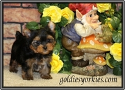 well trained cute lovely and affectionate yorkie puppies for adoption